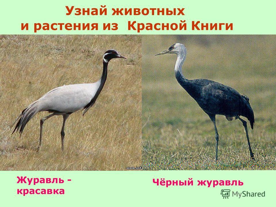 Узнай животных и растения из Красной Книги Чёрный журавль Журавль - красавка