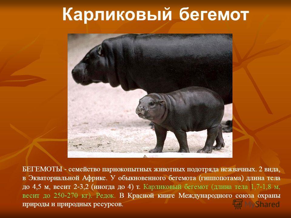 Карликовый бегемот БЕГЕМОТЫ - семейство парнокопытных животных подотряда нежвачных. 2 вида, в Экваториальной Африке. У обыкновенного бегемота (гиппопотама) длина тела до 4,5 м, весит 2-3,2 (иногда до 4) т. Карликовый бегемот (длина тела 1,7-1,8 м, ве