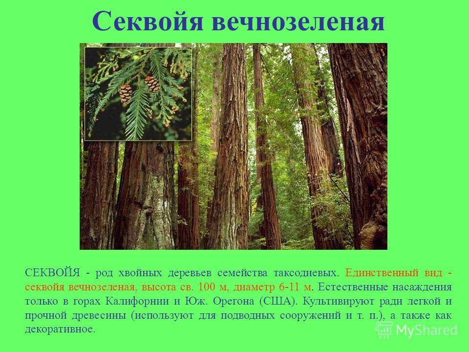 Секвойя вечнозеленая СЕКВОЙЯ - род хвойных деревьев семейства таксодиевых. Единственный вид - секвойя вечнозеленая, высота св. 100 м, диаметр 6-11 м. Естественные насаждения только в горах Калифорнии и Юж. Орегона (США). Культивируют ради легкой и пр