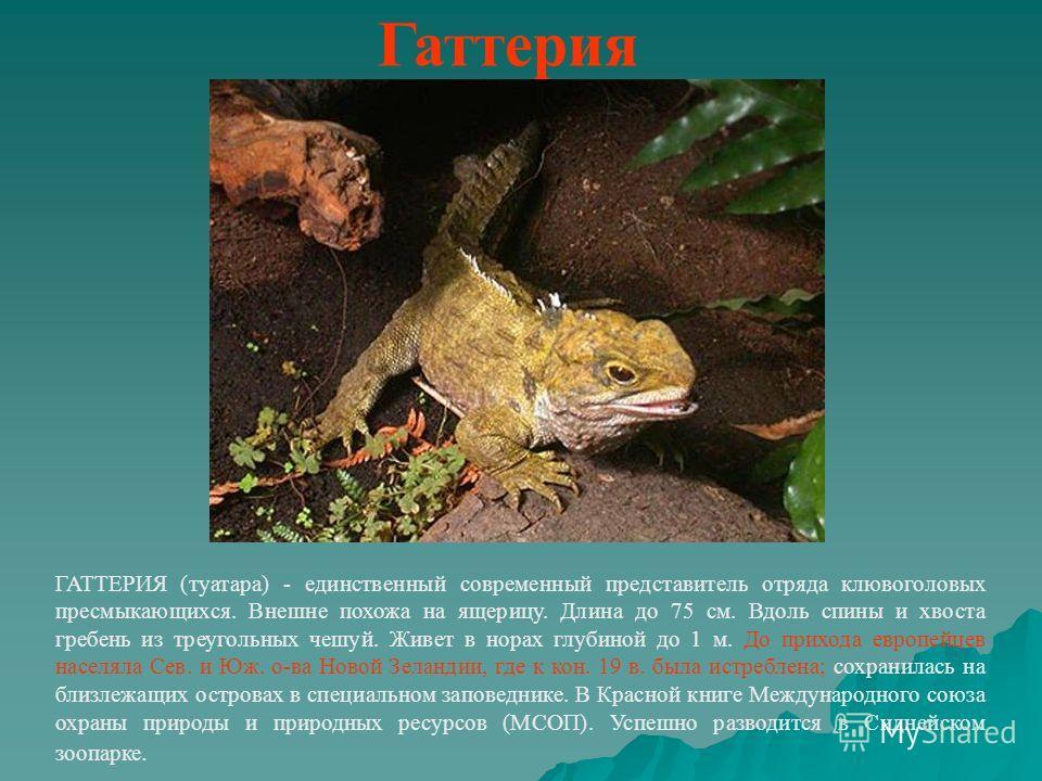 Гаттерия ГАТТЕРИЯ (туатара) - единственный современный представитель отряда клювоголовых пресмыкающихся. Внешне похожа на ящерицу. Длина до 75 см. Вдоль спины и хвоста гребень из треугольных чешуй. Живет в норах глубиной до 1 м. До прихода европейцев