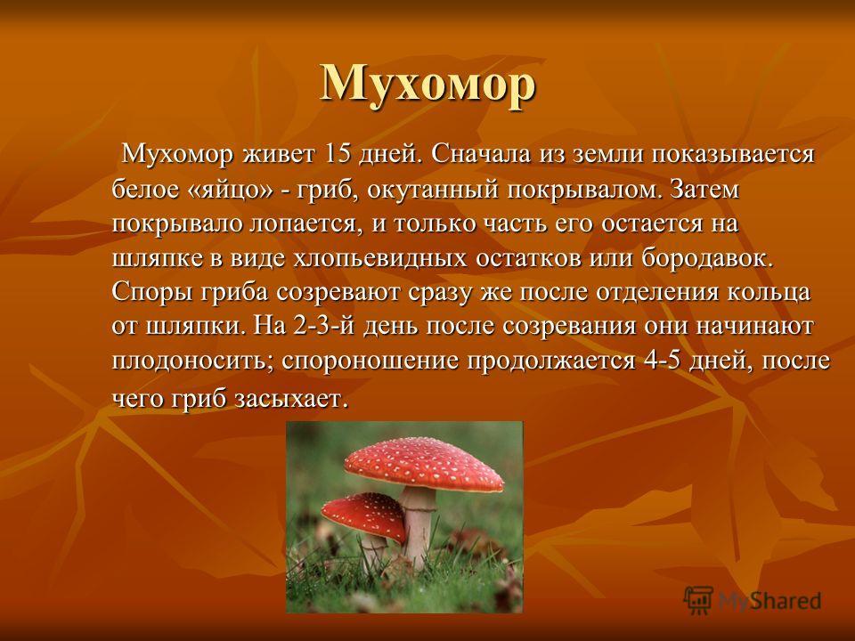 Мухомор Мухомор живет 15 дней. Сначала из земли показывается белое «яйцо» - гриб, окутанный покрывалом. Затем покрывало лопается, и только часть его остается на шляпке в виде хлопьевидных остатков или бородавок. Споры гриба созревают сразу же после о