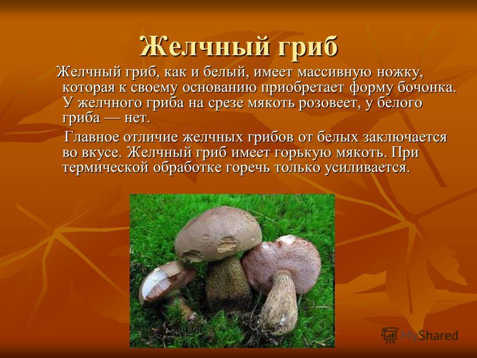 Желчный гриб Желчный гриб, как и белый, имеет массивную ножку, которая к своему основанию приобретает форму бочонка. У желчного гриба на срезе мякоть розовеет, у белого гриба нет. Желчный гриб, как и белый, имеет массивную ножку, которая к своему осн