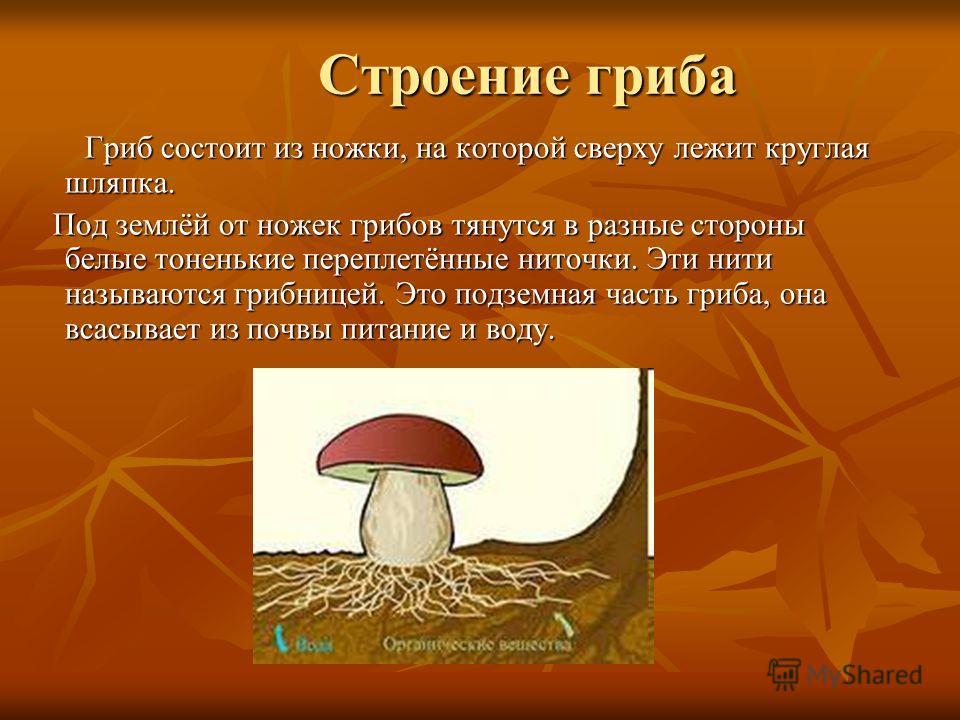 Строение гриба Гриб состоит из ножки, на которой сверху лежит круглая шляпка. Гриб состоит из ножки, на которой сверху лежит круглая шляпка. Под землёй от ножек грибов тянутся в разные стороны белые тоненькие переплетённые ниточки. Эти нити называютс