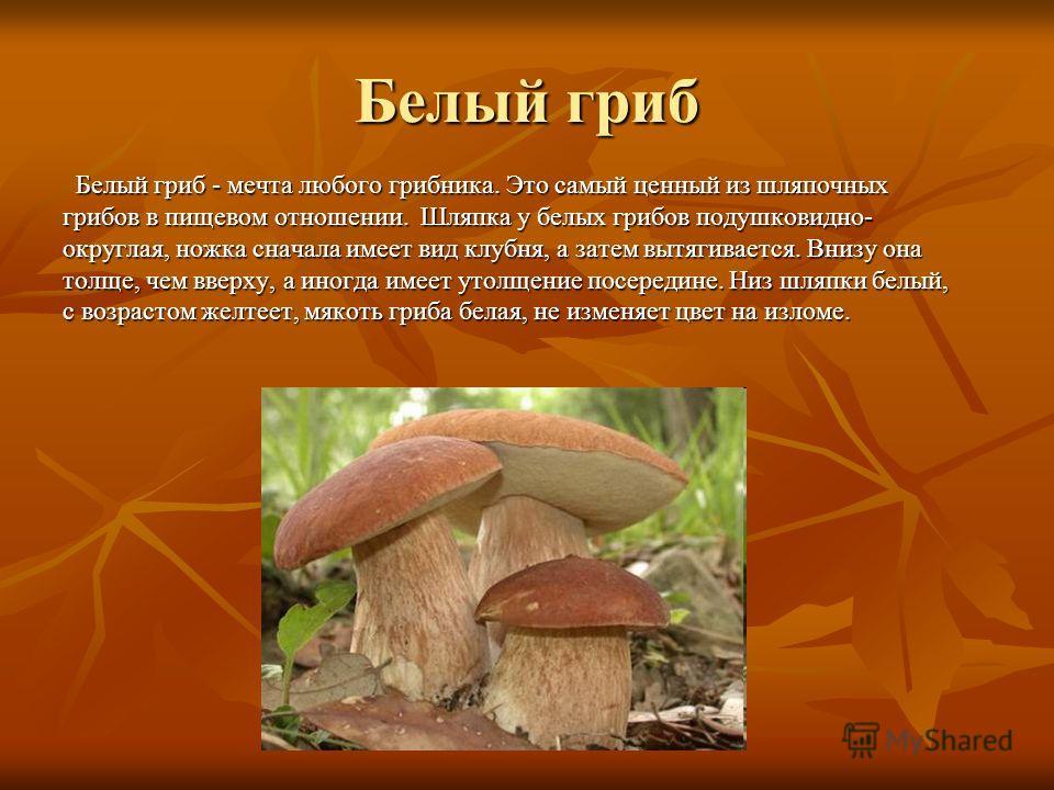 Белый гриб Белый гриб - мечта любого грибника. Это самый ценный из шляпочных грибов в пищевом отношении. Шляпка у белых грибов подушковидно- округлая, ножка сначала имеет вид клубня, а затем вытягивается. Внизу она толще, чем вверху, а иногда имеет у