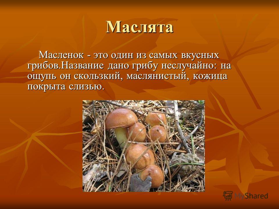 Маслята Масленок - это один из самых вкусных грибов.Название дано грибу неслучайно: на ощупь он скользкий, маслянистый, кожица покрыта слизью. Масленок - это один из самых вкусных грибов.Название дано грибу неслучайно: на ощупь он скользкий, маслянис