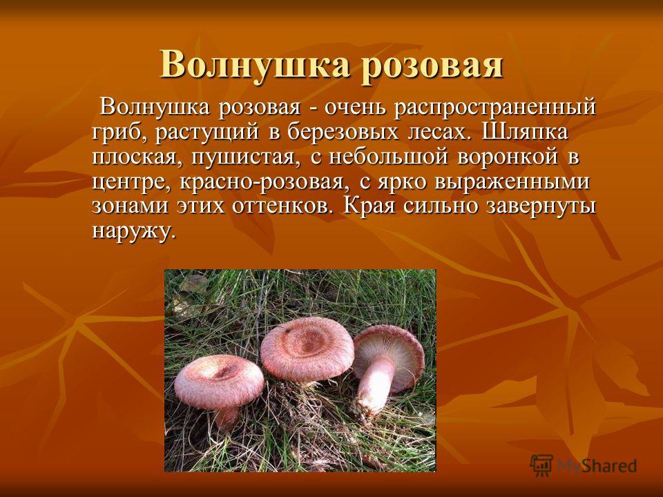 Волнушка розовая Волнушка розовая - очень распространенный гриб, растущий в березовых лесах. Шляпка плоская, пушистая, с небольшой воронкой в центре, красно-розовая, с ярко выраженными зонами этих оттенков. Края сильно завернуты наружу. Волнушка розо