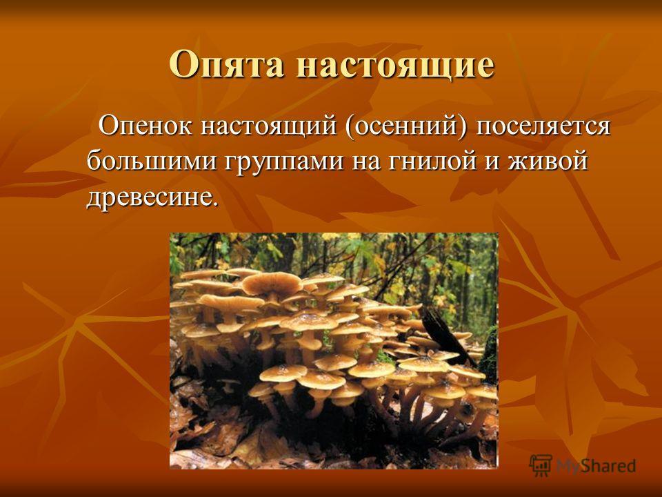 Опята настоящие Опенок настоящий (осенний) поселяется большими группами на гнилой и живой древесине. Опенок настоящий (осенний) поселяется большими группами на гнилой и живой древесине.