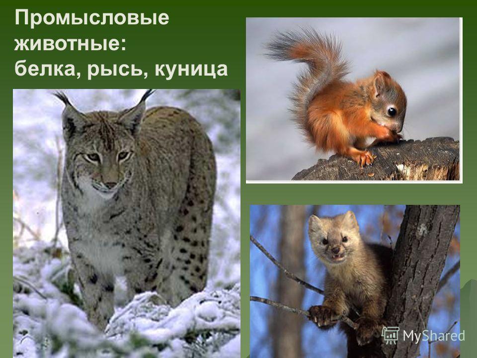Промысловые животные: белка, рысь, куница