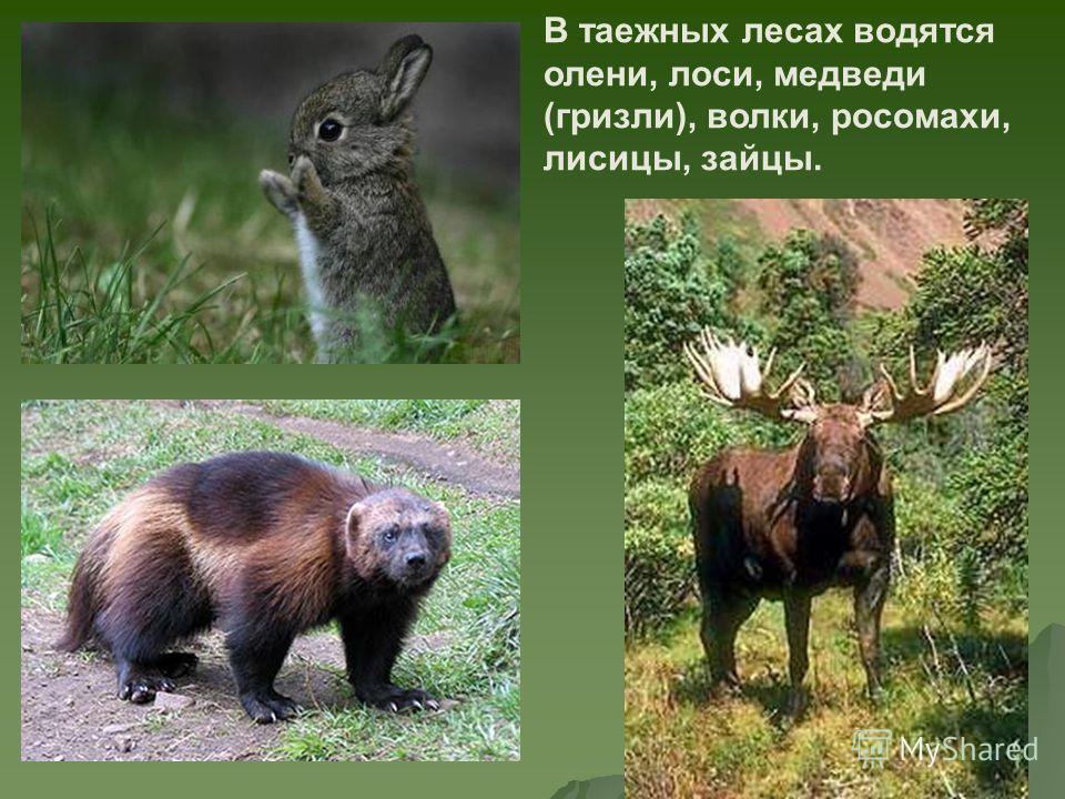 В таежных лесах водятся олени, лоси, медведи (гризли), волки, росомахи, лисицы, зайцы.