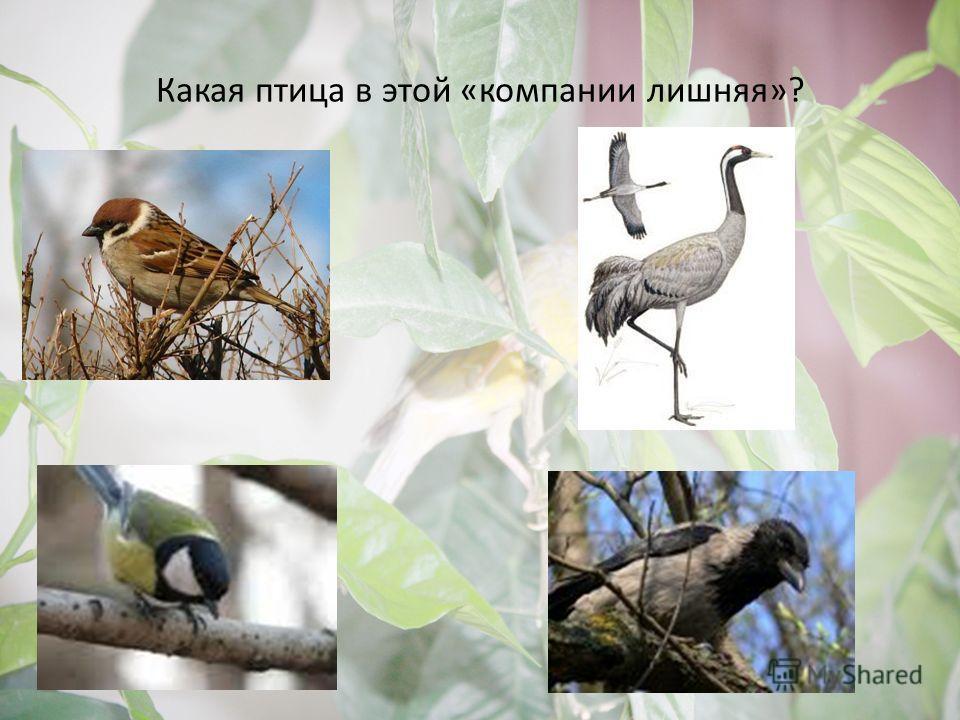 Какая птица в этой «компании лишняя»?