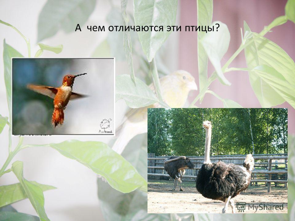 А чем отличаются эти птицы?