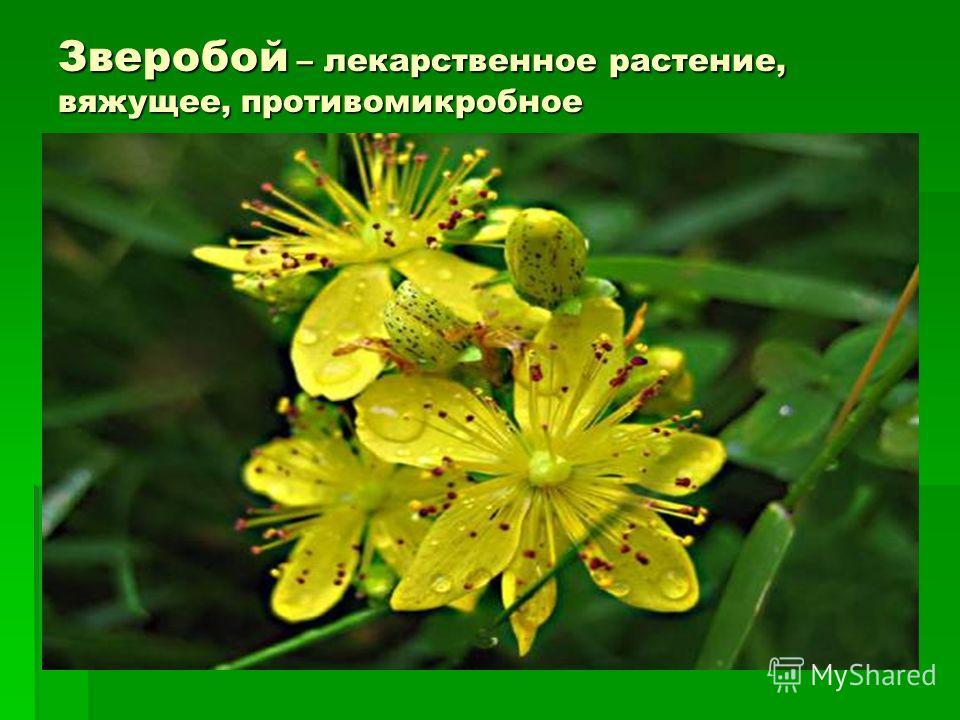 Зверобой – лекарственное растение, вяжущее, противомикробное