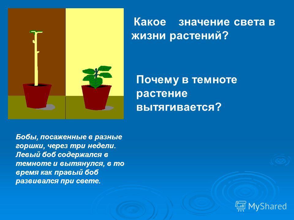 Бобы, посаженные в разные горшки, через три недели. Левый боб содержался в темноте и вытянулся, в то время как правый боб развивался при свете. Какое значение света в жизни растений? Почему в темноте растение вытягивается?