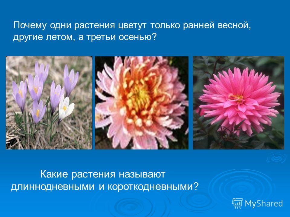Какие растения называют длиннодневными и короткодневными? Почему одни растения цветут только ранней весной, другие летом, а третьи осенью?