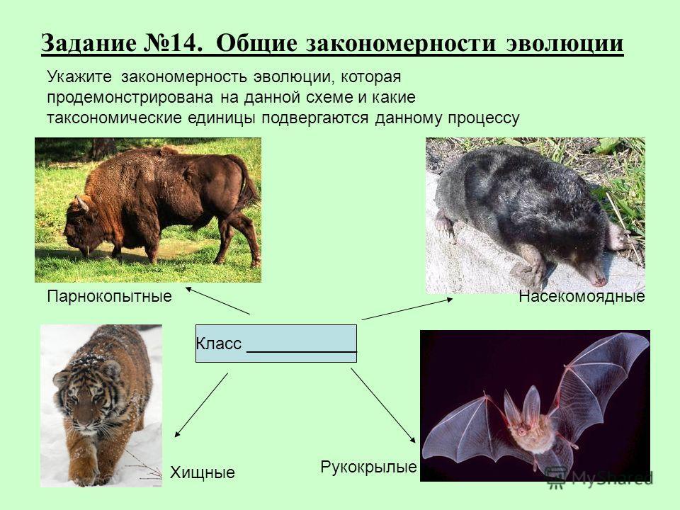Задание 14. Общие закономерности эволюции Хищные Рукокрылые ПарнокопытныеНасекомоядные Класс ____________ Укажите закономерность эволюции, которая продемонстрирована на данной схеме и какие таксономические единицы подвергаются данному процессу