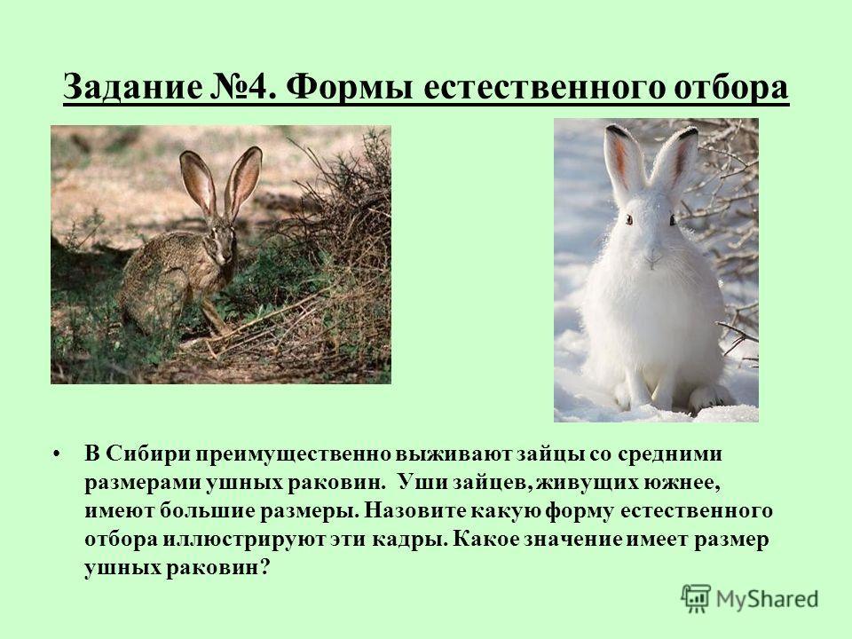 Задание 4. Формы естественного отбора В Сибири преимущественно выживают зайцы со средними размерами ушных раковин. Уши зайцев, живущих южнее, имеют большие размеры. Назовите какую форму естественного отбора иллюстрируют эти кадры. Какое значение имее