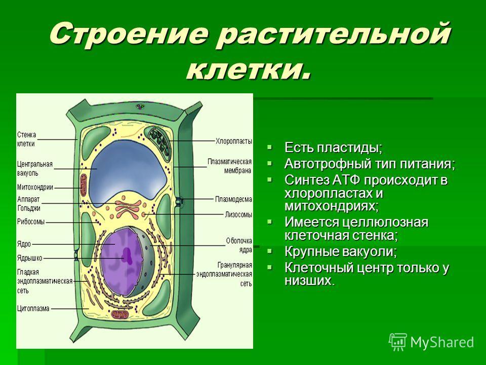 Строение растительной клетки. Есть пластиды; Есть пластиды; Автотрофный тип питания; Автотрофный тип питания; Синтез АТФ происходит в хлоропластах и митохондриях; Синтез АТФ происходит в хлоропластах и митохондриях; Имеется целлюлозная клеточная стен