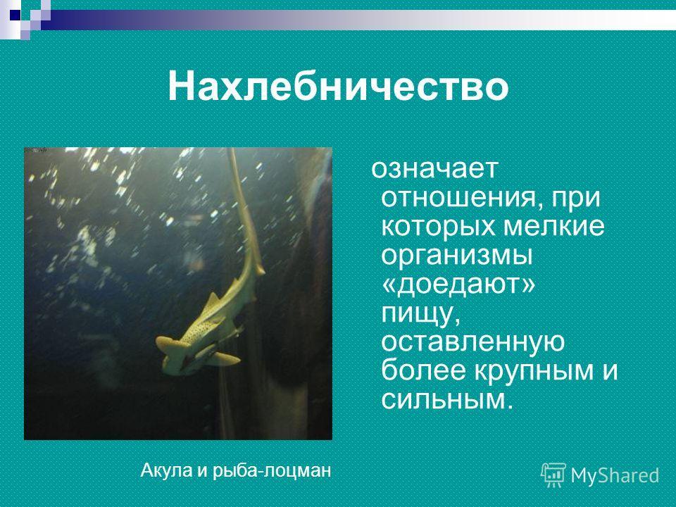 Нахлебничество означает отношения, при которых мелкие организмы «доедают» пищу, оставленную более крупным и сильным. Акула и рыба-лоцман