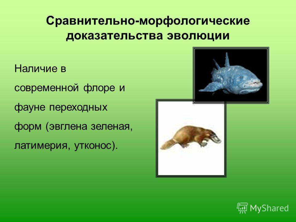 Сравнительно-морфологические доказательства эволюции Наличие в современной флоре и фауне переходных форм (эвглена зеленая, латимерия, утконос).