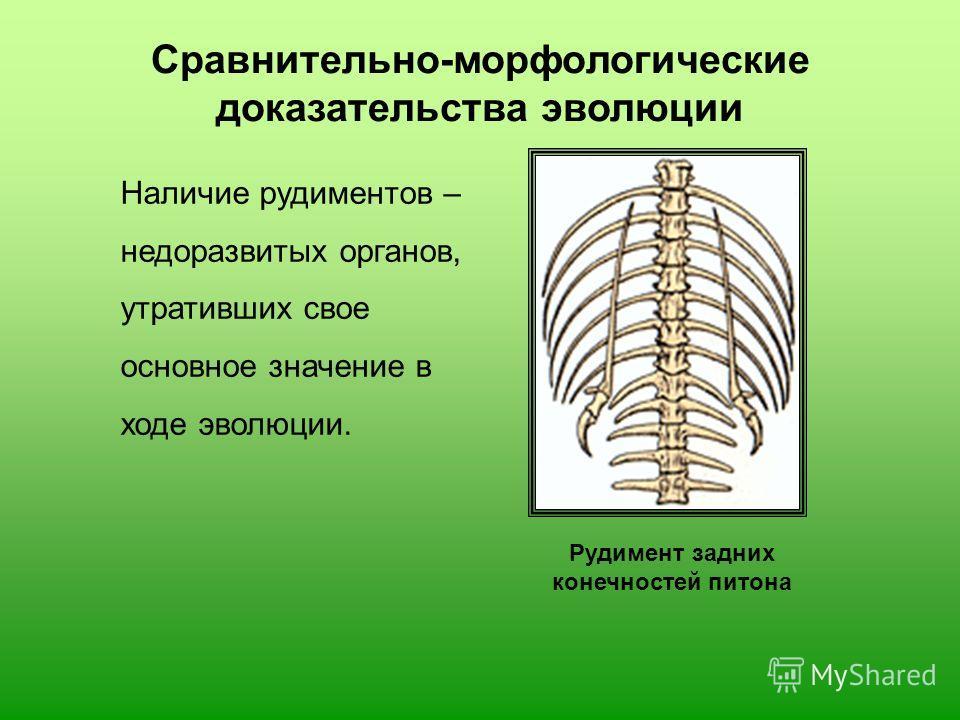 Наличие рудиментов – недоразвитых органов, утративших свое основное значение в ходе эволюции. Рудимент задних конечностей питона Сравнительно-морфологические доказательства эволюции