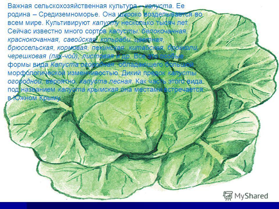 Важная сельскохозяйственная культура – капуста. Ее родина – Средиземноморье. Она широко возделывается во всем мире. Культивируют капусту несколько тысяч лет. Сейчас известно много сортов капусты: белокочанная, краснокочанная, савойская, кольраби, цве