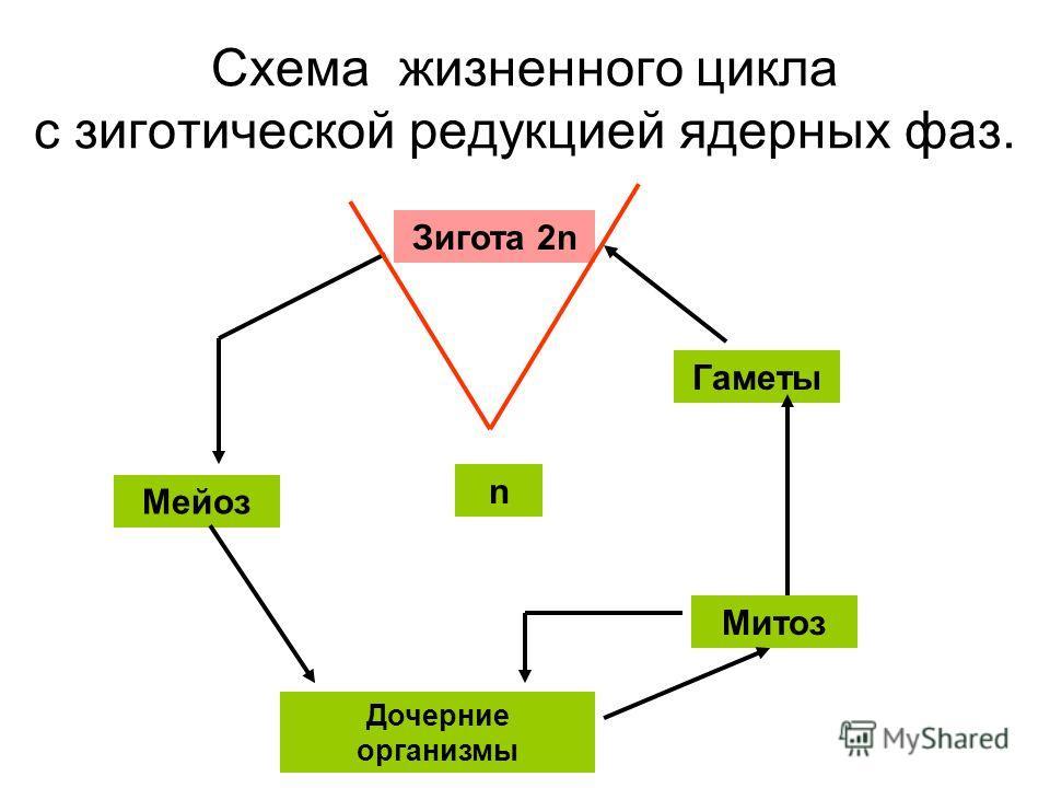 Схема жизненного цикла с зиготической редукцией ядерных фаз. Зигота 2n Мейоз Дочерние организмы Митоз Гаметы n