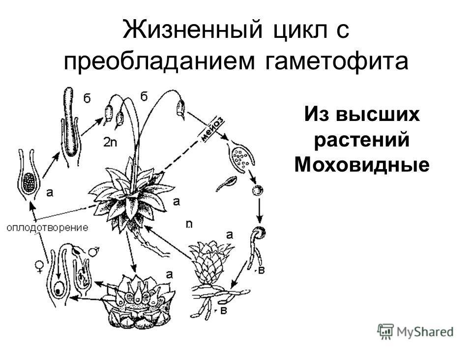 Жизненный цикл с преобладанием