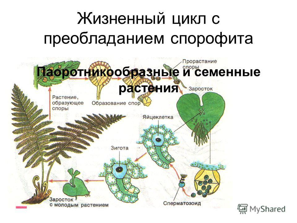 Жизненный цикл с преобладанием спорофита Паоротникообразные и семенные растения