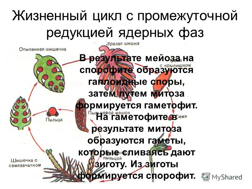 Жизненный цикл с промежуточной редукцией ядерных фаз В результате мейоза на спорофите образуются гаплоидные споры, затем путем митоза формируется гаметофит. На гаметофите в результате митоза образуются гаметы, которые сливаясь дают зиготу. Из зиготы