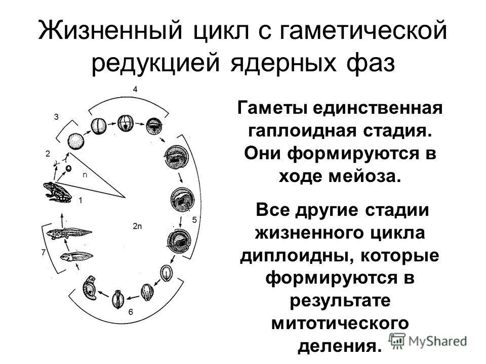 Жизненный цикл с гаметической редукцией ядерных фаз Гаметы единственная гаплоидная стадия. Они формируются в ходе мейоза. Все другие стадии жизненного цикла диплоидны, которые формируются в результате митотического деления.