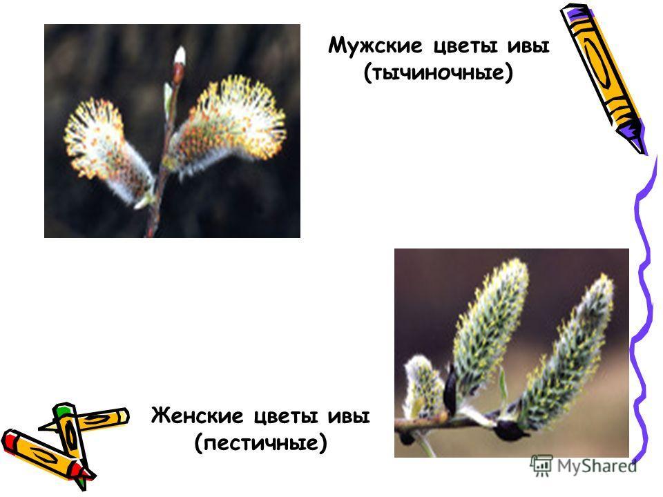 Мужские цветы ивы (тычиночные) Женские цветы ивы (пестичные)