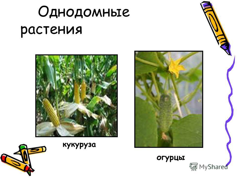 Однодомные растения кукуруза огурцы