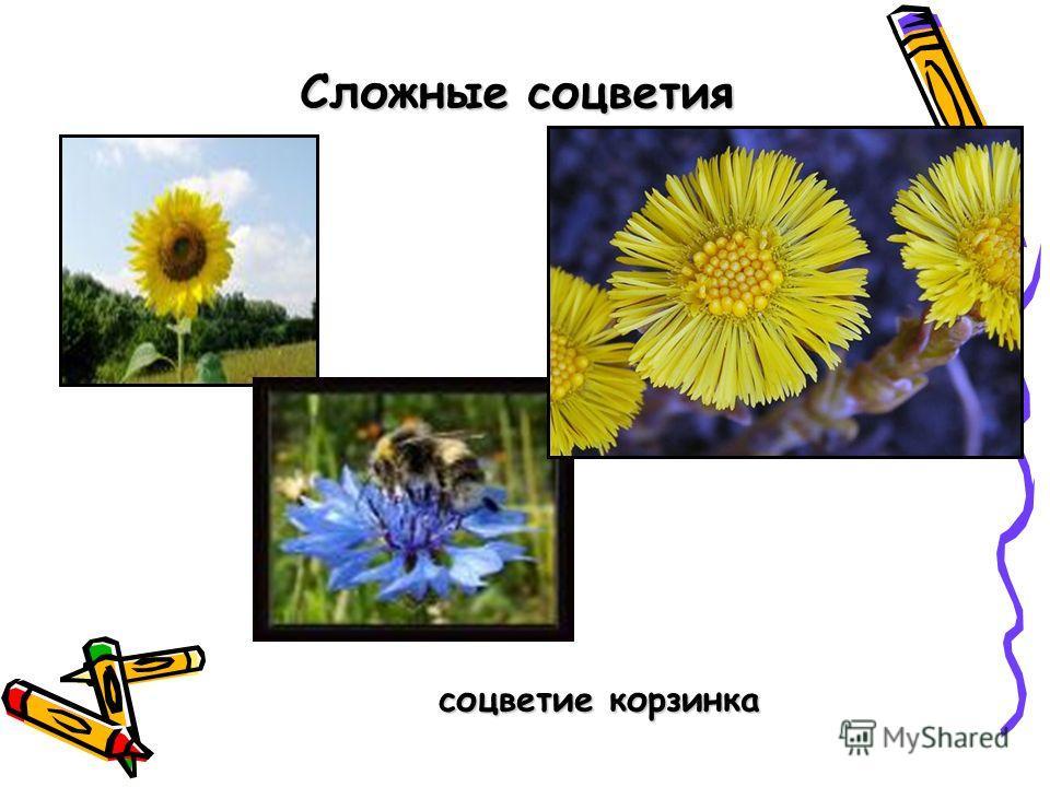 Сложные соцветия соцветие корзинка