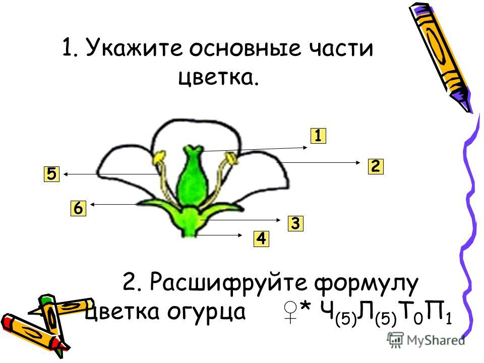 1. Укажите основные части цветка. 1 2 3 4 6 5 2. Расшифруйте формулу цветка огурца * Ч (5) Л (5) Т 0 П 1