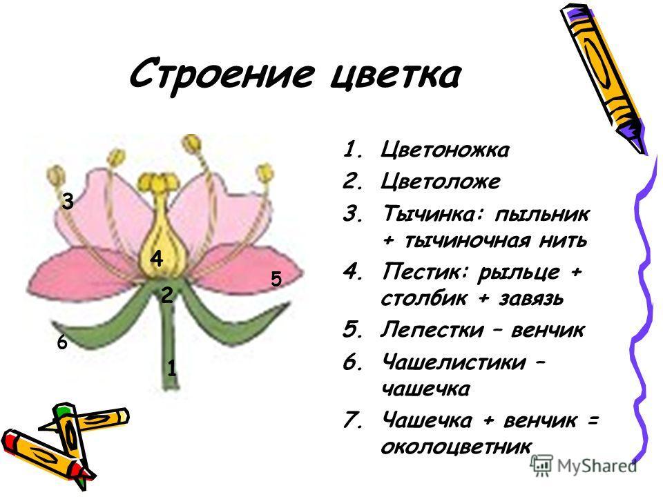 Строение цветка 1.Цветоножка 2.Цветоложе 3.Тычинка: пыльник + тычиночная нить 4.Пестик: рыльце + столбик + завязь 5.Лепестки – венчик 6.Чашелистики – чашечка 7.Чашечка + венчик = околоцветник 1 2 3 4 5 6