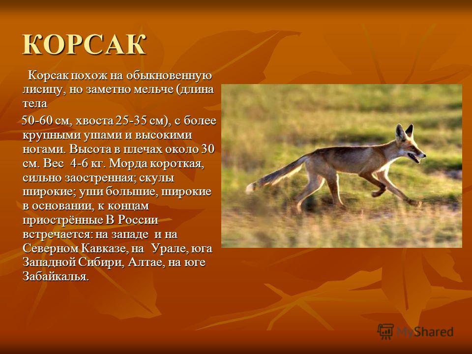 КОРСАК Корсак похож на обыкновенную лисицу, но заметно мельче (длина тела Корсак похож на обыкновенную лисицу, но заметно мельче (длина тела 50-60 см, хвоста 25-35 см), с более крупными ушами и высокими ногами. Высота в плечах около 30 см. Вес 4-6 кг