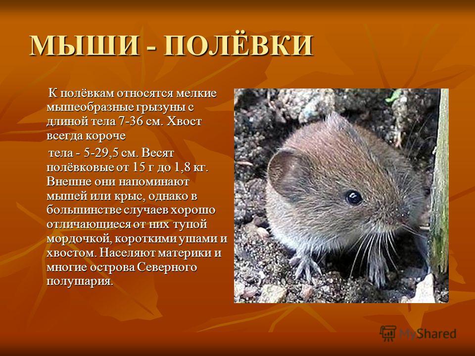 МЫШИ - ПОЛЁВКИ К полёвкам относятся мелкие мышеобразные грызуны с длиной тела 7-36 см. Хвост всегда короче К полёвкам относятся мелкие мышеобразные грызуны с длиной тела 7-36 см. Хвост всегда короче тела - 5-29,5 см. Весят полёвковые от 15 г до 1,8 к