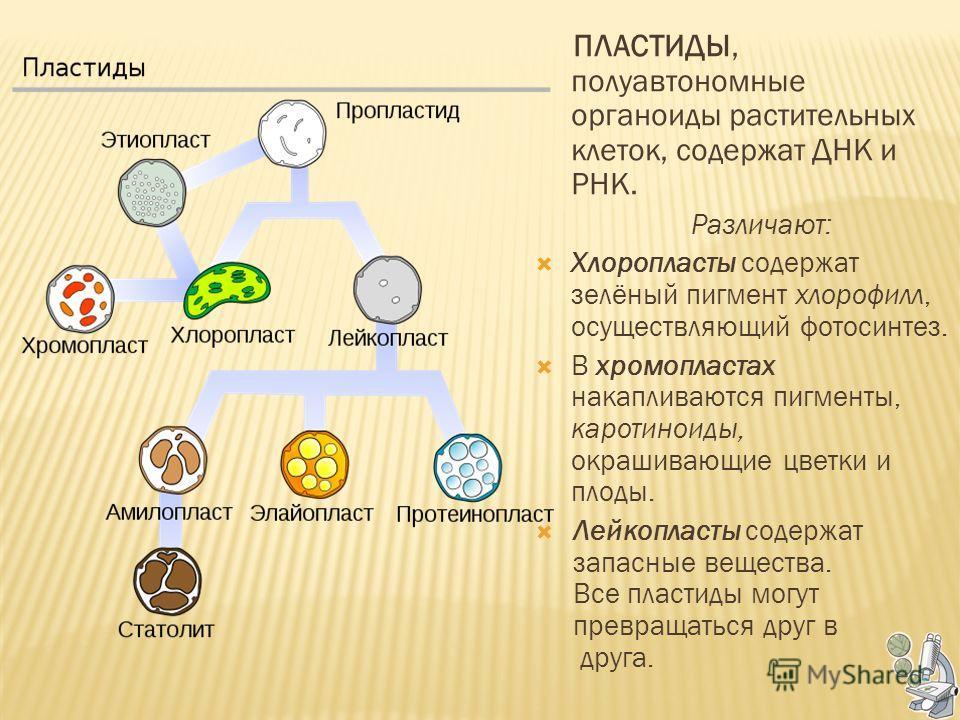 ПЛАСТИДЫ, полуавтономные органоиды растительных клеток, содержат ДНК и РНК. Различают: Хлоропласты содержат зелёный пигмент хлорофилл, осуществляющий фотосинтез. В хромопластах накапливаются пигменты, каротиноиды, окрашивающие цветки и плоды. Лейкопл