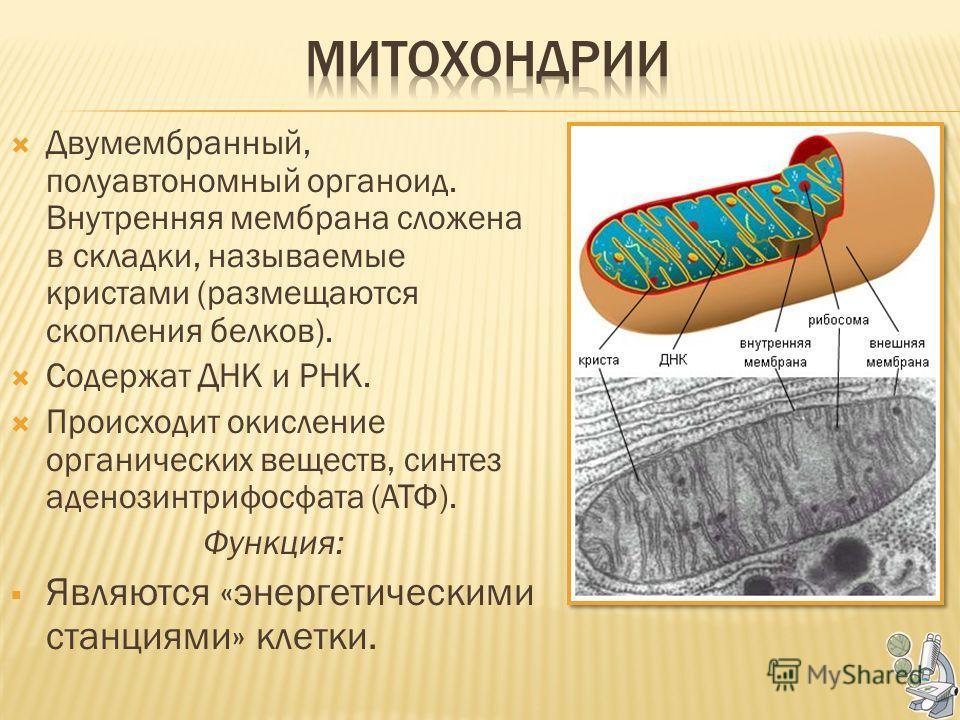 Двумембранный, полуавтономный органоид. Внутренняя мембрана сложена в складки, называемые кристами (размещаются скопления белков). Содержат ДНК и РНК. Происходит окисление органических веществ, синтез аденозинтрифосфата (АТФ). Функция: Являются «энер