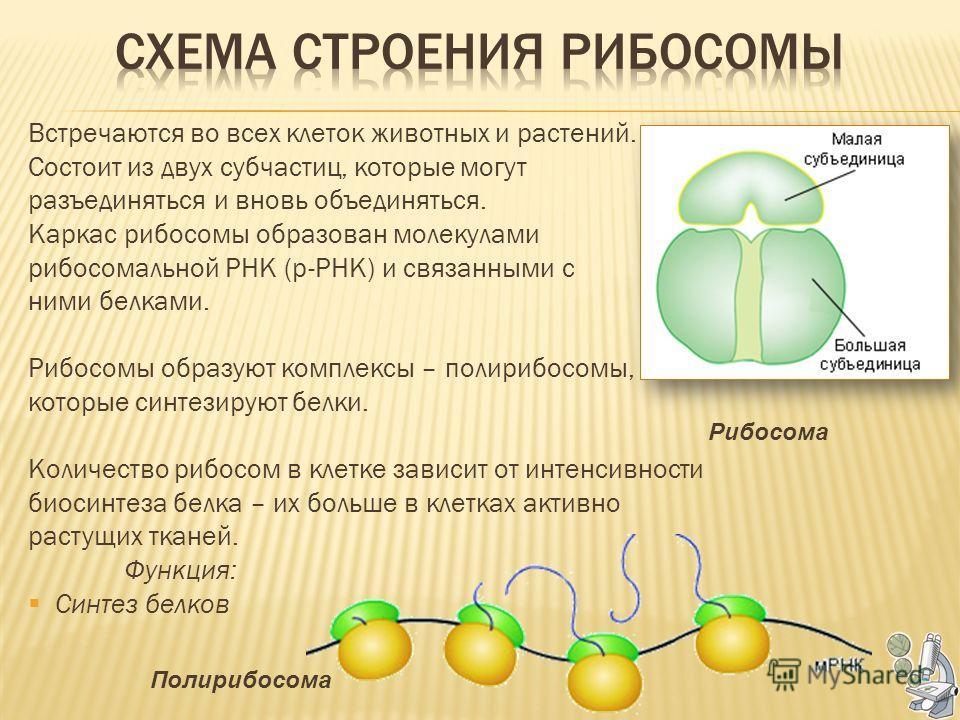 Встречаются во всех клеток животных и растений. Состоит из двух субчастиц, которые могут разъединяться и вновь объединяться. Каркас рибосомы образован молекулами рибосомальной РНК (р-РНК) и связанными с ними белками. Рибосомы образуют комплексы – пол