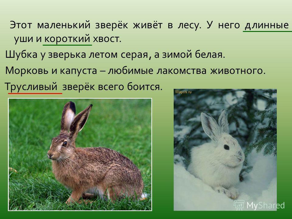 Этот маленький зверёк живёт в лесу. У него длинные уши и короткий хвост. Шубка у зверька летом серая, а зимой белая. Морковь и капуста – любимые лакомства животного. Трусливый зверёк всего боится.