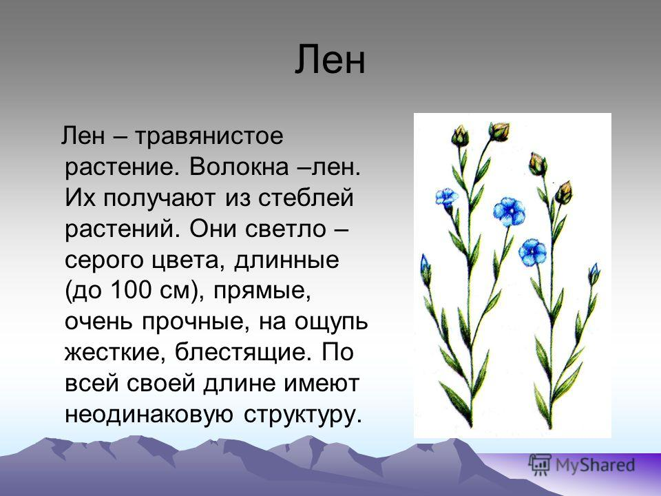 Лен Лен – травянистое растение. Волокна –лен. Их получают из стеблей растений. Они светло – серого цвета, длинные (до 100 см), прямые, очень прочные, на ощупь жесткие, блестящие. По всей своей длине имеют неодинаковую структуру.