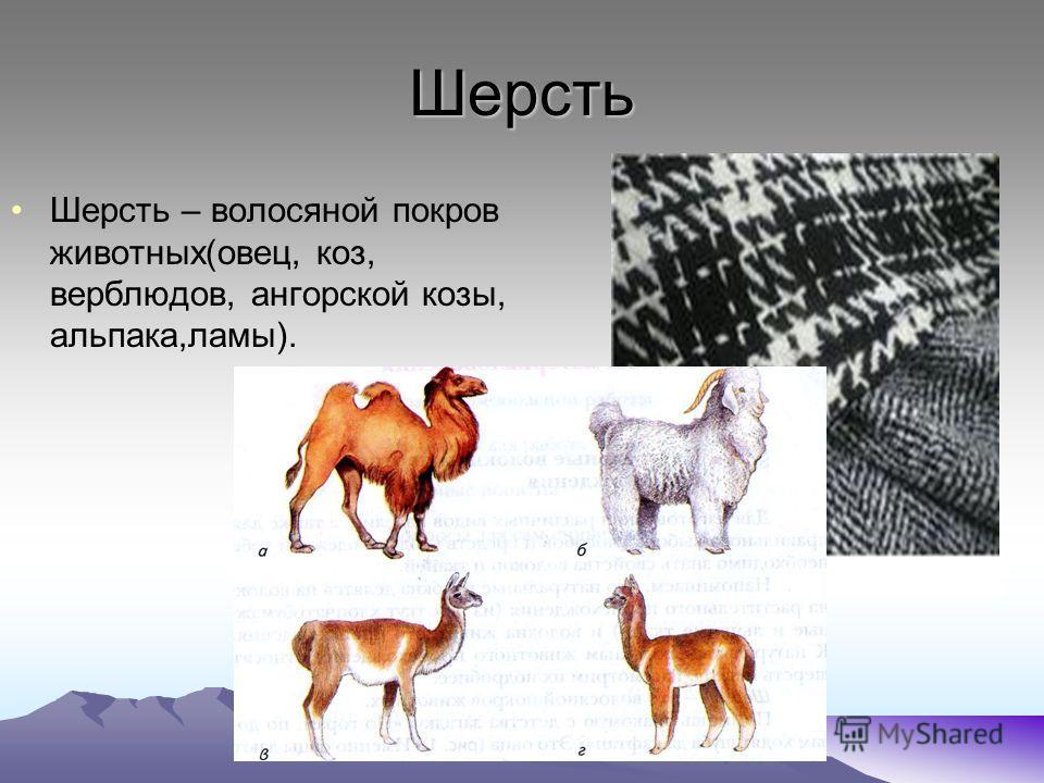 Шерсть Шерсть – волосяной покров животных(овец, коз, верблюдов, ангорской козы, альпака,ламы).