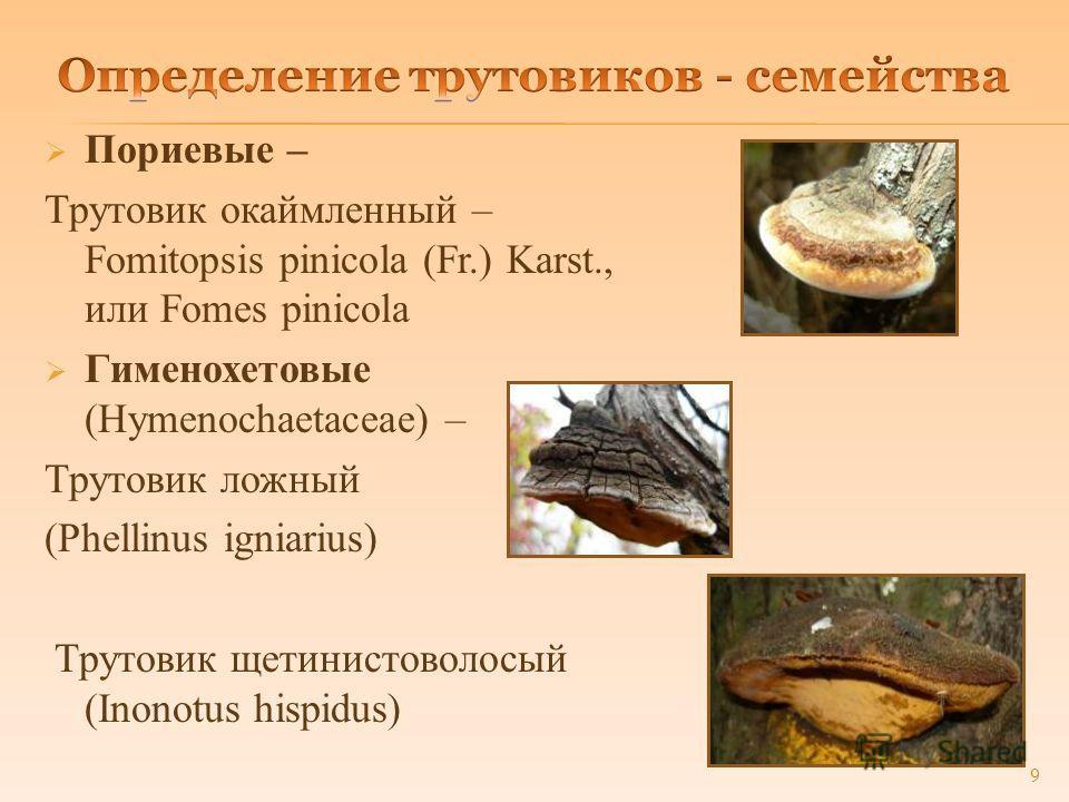 Пориевые – Трутовик окаймленный – Fomitopsis pinicola (Fr.) Karst., или Fomes pinicola Гименохетовые (Hymenochaetaceae) – Трутовик ложный (Phellinus igniarius) Трутовик щетинистоволосый (Inonotus hispidus) 9