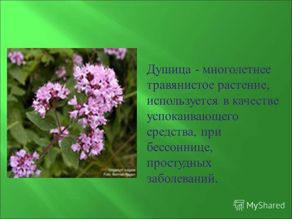Душица - многолетнее травянистое растение, используется в качестве успокаивающего средства, при бессоннице, простудных заболеваний.