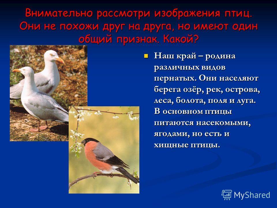 Внимательно рассмотри изображения птиц. Они не похожи друг на друга, но имеют один общий признак. Какой? Наш край – родина различных видов пернатых. Они населяют берега озёр, рек, острова, леса, болота, поля и луга. В основном птицы питаются насекомы