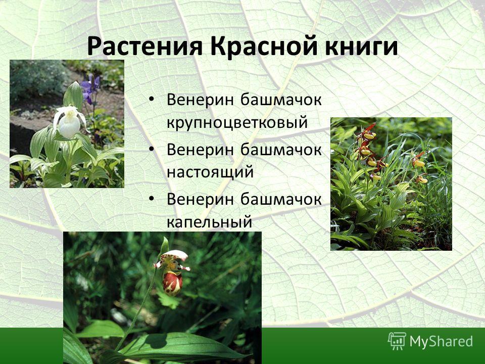 Растения Красной книги Венерин башмачок крупноцветковый Венерин башмачок настоящий Венерин башмачок капельный