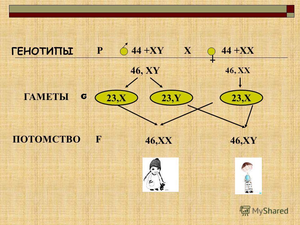 ГЕНОТИПЫ РX44 +XY44 +XX 46, XY 46, XX ГАМЕТЫ 23,X23,Y23,X ПОТОМСТВОF 46,XX46,XY G