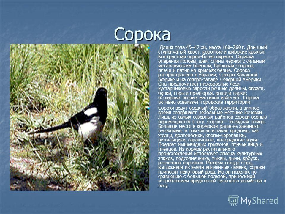 Сорока Длина тела 45–47 см, масса 160–260 г. Длинный ступенчатый хвост, короткие и широкие крылья. Контрастная черно-белая окраска. Окраска оперения головы, шеи, спины черная с сильным металлическим блеском, брюшная сторона, плечи и пятна на крыльях