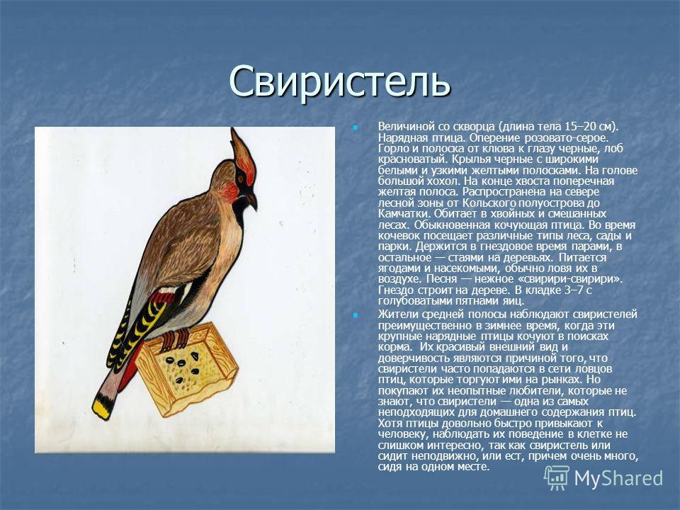 Свиристель Величиной со скворца (длина тела 15–20 см). Нарядная птица. Оперение розовато-серое. Горло и полоска от клюва к глазу черные, лоб красноватый. Крылья черные с широкими белыми и узкими желтыми полосками. На голове большой хохол. На конце хв